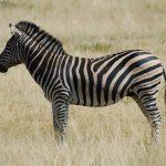 Savanna is one of the habitats of zebras