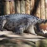 American crocodiles are called Crocodylus acutus