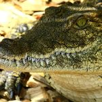 Crocodile meat is in high demand from China and from the restaurants of upmarket tourist hotels