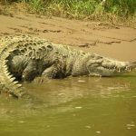 Crocodile meat is in high demand from the restaurants of upmarket tourist hotels and China