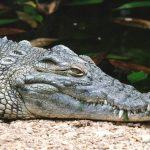 The hides of crocodiles are used to make belts, handbags and shoes