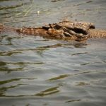 In Africa crocodile farming is growing at 22% per year
