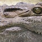 In Kenya there are 21 crocodile farmers but 60 more have applied for the licences