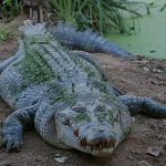 There are 21 crocodile farmers in Kenya but 60 more have applied for the licences, according to KWS, a government agency