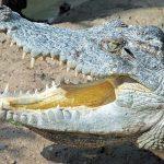 Crocodiles live throughout Madagascar, sub-Saharan Africa, and the Nile basin