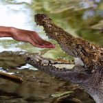 Crocodiles live in freshwater marshes, rivers, and mangrove swamps