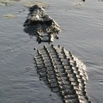 A Nile crocodile can attack anything that crosses its path
