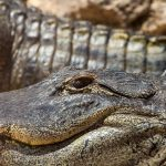Crocodile farming industry is small but growing