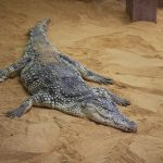 Crocodile farming industry is small, but growing