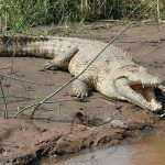 The Nile crocodile and the Salt Water Crocodile have been known to eat people