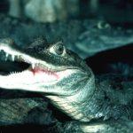 Alligators and crocodiles are cousins