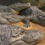 Nile crocodile meat is said to taste good but other crocodiles are easier to look after