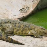 Nile crocodile meat is said to taste delicious but other crocodiles are easier to look after