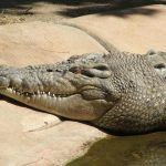 The largest species of African crocodile is one of world's most deadly predator