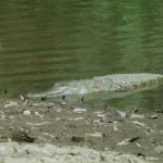 African crocodiles grow to five metres in length and 118st in weight