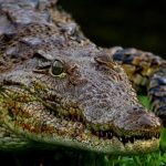 African crocodile grows to 16ft in length and 118st in weight