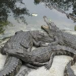 Crocodiles in Africa are renowned for their aggressive natures