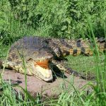 African crocodiles, typically weighing 750kg and five metres in length, are renowned for their aggressive nature