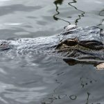 Wild attacks on humans by crocodiles are commonplace