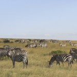 Zebras are highly social animals