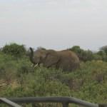 Elephants belong to the Animalia kingdom