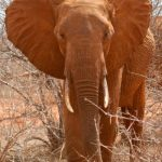 Male elephants only remain with the herd until the age of 12-13 after which they join a group of other males