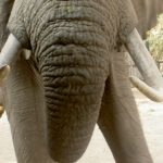 Male elephant only remains with the herd until the age of 12-13 after which it joins a group of other males