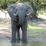 A male elephant only remains with the herd until the age of 12-13 after which it joins a group of other males