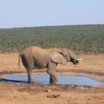 A male elephant remains with the herd until the age of 12-13 after which it joins a group of other males
