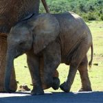 The male elephants remain with the herd until the age of 12-13 after which it joins a group of other males