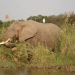 Male elephant remains with the herd until the age of 12-13 after which it joins a group of other males known as a bachelor herd