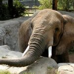 Kenyan elephants are extremely long-lived surviving to 60 to 70 years