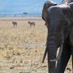 Many thousands of elephants were killed between the years 70s and 90s