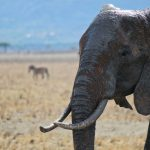 Thousands of elephants were killed between the years 70s and 90s