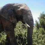 The Kenyan elephants are extremely long-lived surviving to 60 to 70 years