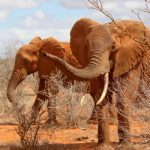 The threat to the African elephant populations in Eastern Africa is increasing