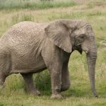 The threat to African elephant populations in Eastern Africa is increasing