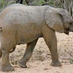 The threat to Eastern African elephant populations is increasing as poaching is rising