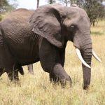 The tusks of elephants are enormous front teeth