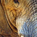 Tusks are enormous front teeth of elephants