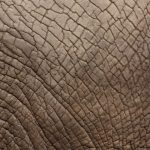 Tusks are enormous front teeth of the elephants
