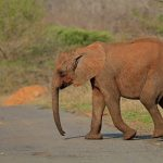 The tusks are enormous front teeth of the elephants