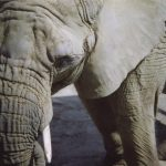 Tusks are enormous front teeth of elephants that keep growing