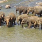 Elephant plays an important role in maintaining the biodiversity