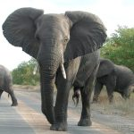 Tusks of the elephants are used to dig for roots