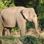 Tusks of elephant is used to dig for roots