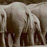 The scientists reckon that elephants prefer their left or right tusk just like we do our left or right hand