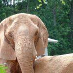 An elephant has a complex consciousness