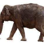 An elephant has complex consciousness and strong emotions