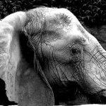 Male elephant often lives longer